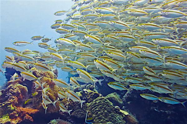 תמונה של להקת דגים מדהימה הקו טאו מתוך אתר טיול לתאילנד עם סגול