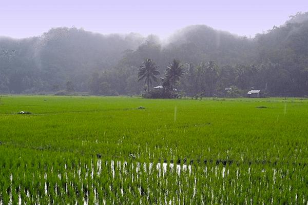 תמונה של שדה אורז מוצף מים מתוך מזג אויר בתאילנד של סגול