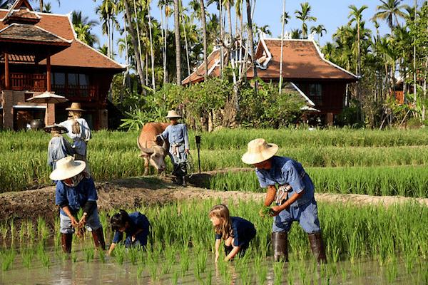 תמונת חקלאים תאילנדים בשתילת האורז